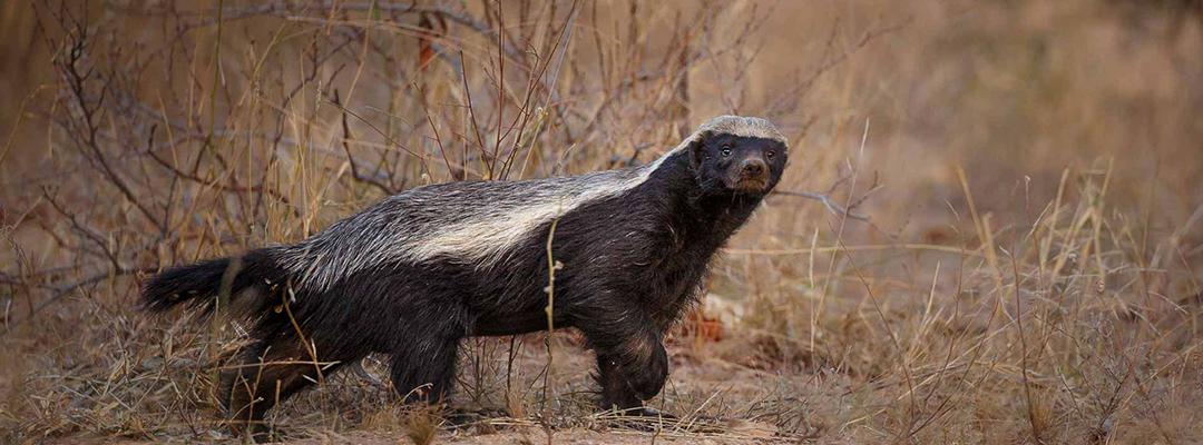Kruger National Park Honey Badger