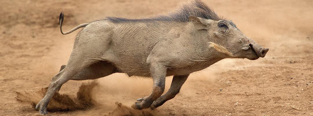 Kruger National Park Warthog